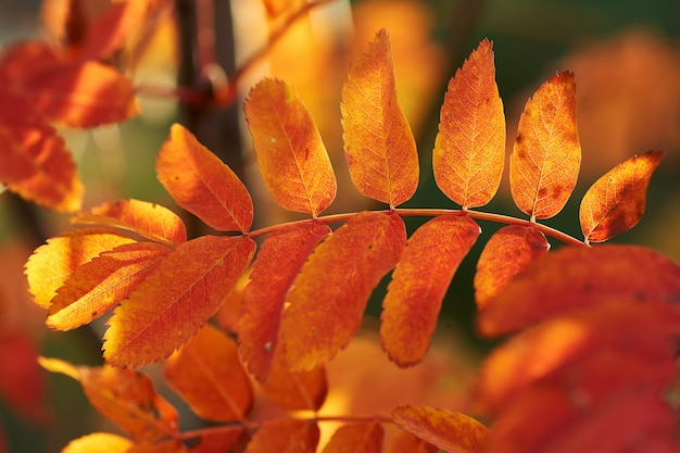 Yellow red leaves of mountain ash in the sunset.