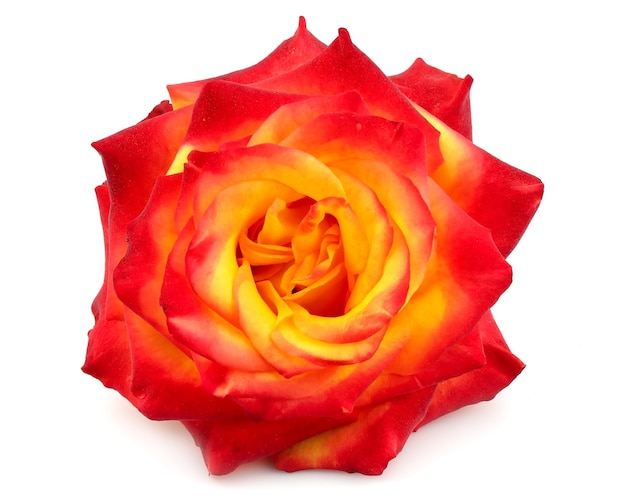 Yellow-red rose on a white