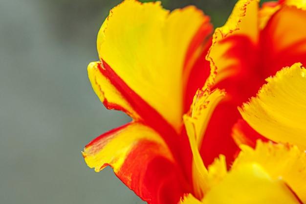 春の黄赤色のチューリップの花
