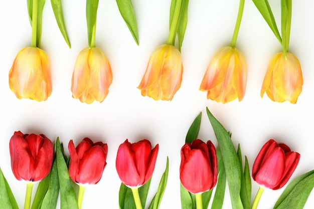 Yellow and red tulips on white isolated background. spring and summer backdrop. mother's day, easter and seasonal holiday
