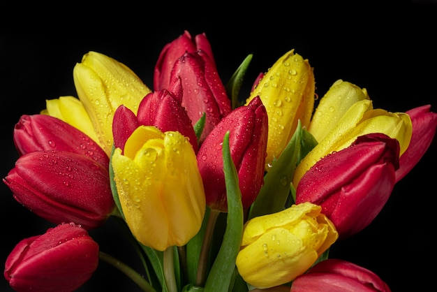 Yellow and red tulips with dew drops on a dark background