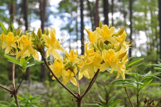 黄色のシャクナゲの花の茂み