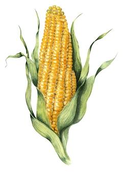 軸付きとうもろこしの黄色い熟したトウモロコシ。農業の水彩イラスト。