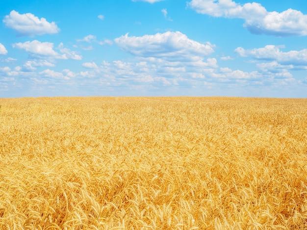 雲と青い空を背景に畑に黄色い熟した小麦の穂。晴れた夏の日に熟した穀物を収穫します。