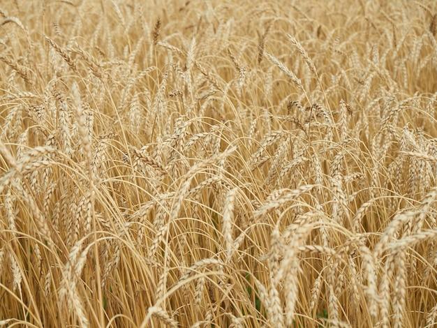 黄色の熟した小麦の穂