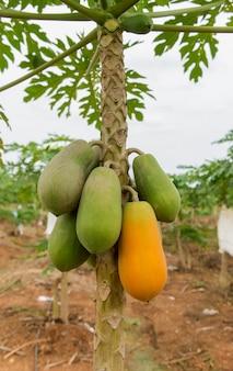 Yellow ripe and raw green papaya on papaya tree in the farm.