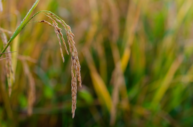 Желтые спелые семена риса с зелеными и сухими листьями на рисовом поле на севере таиланда.