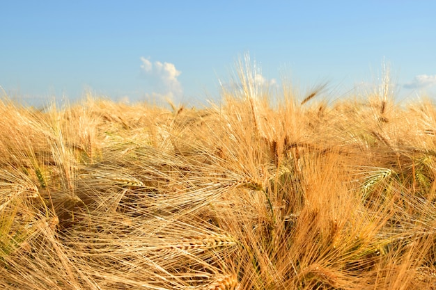 Yellow ripe wheat against the blue sky. harvesting.