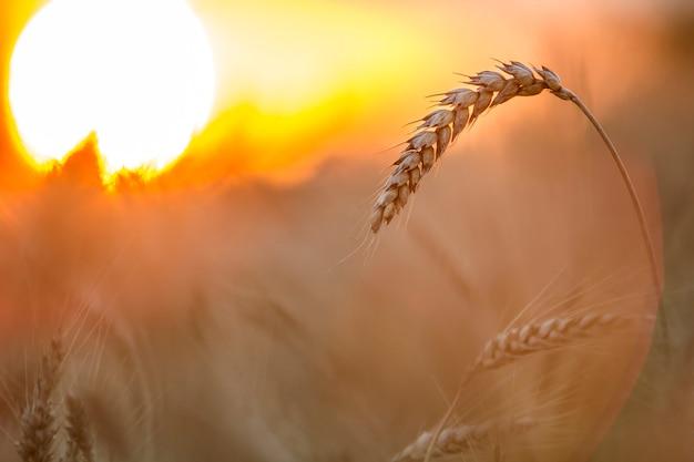 黄色の熟した小麦の頭。農業、農業、収穫のコンセプト。