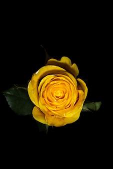 검은 배경에 노란 장미
