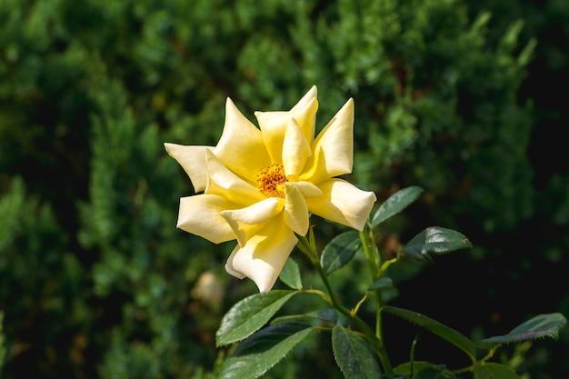 晴天時の緑の葉の中で黄色いバラ