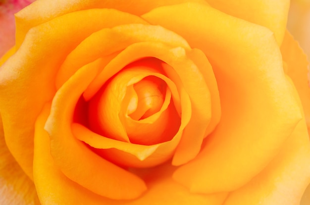 Yellow rose blurred with white isolated