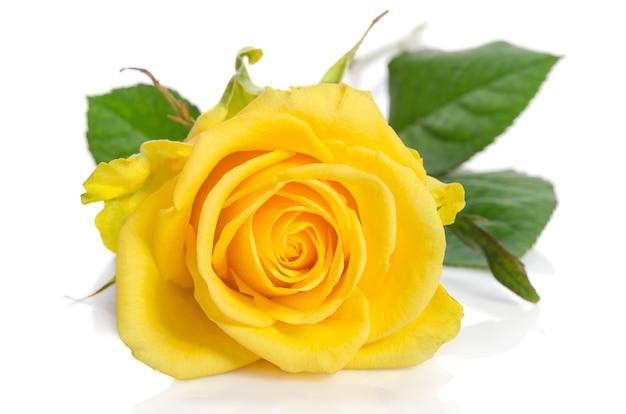 Yellow rose bud over white