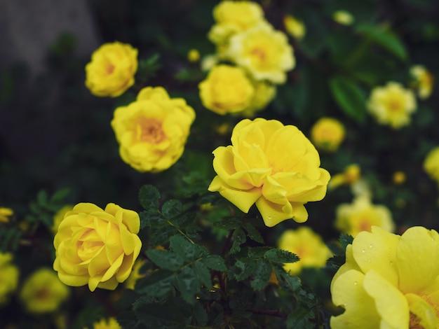 노란 장미 부시 자연에 가까이