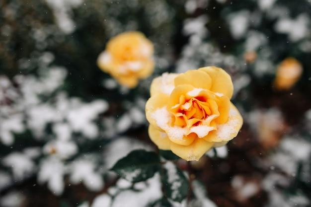 冬の公園で雪に覆われた黄色いバラの茂み。
