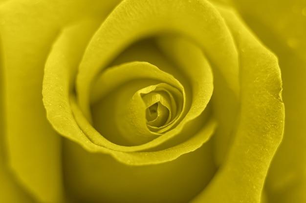 満開の黄色いバラの花がズームインしました。バラの花びらがクローズアップ。 2021年のトレンドカラーであるイルミネーションのトーン