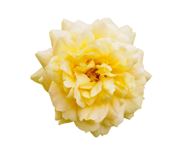 白で隔離される黄色いバラの花