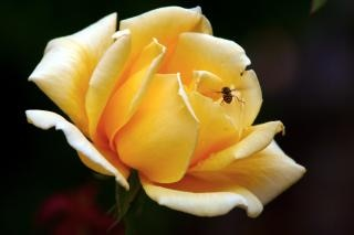 Yellow rose, flying