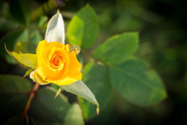 Желтая роза в саду.