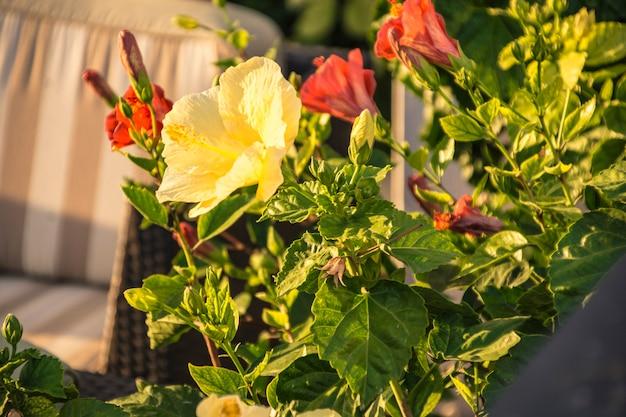 시칠리아 정원의 노란 장미