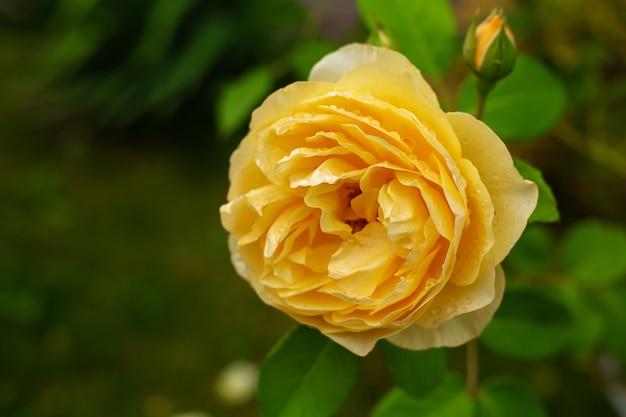 Желтая роза в саду