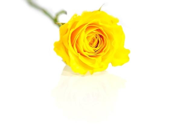 노란 장미, 반사와 흰색 배경에 격리
