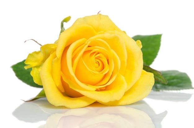 白で隔離される黄色いバラ