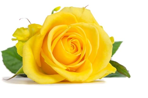 Yellow rose isolated Premium Photo