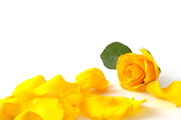 Желтая роза на белом фоне с зелеными листьями