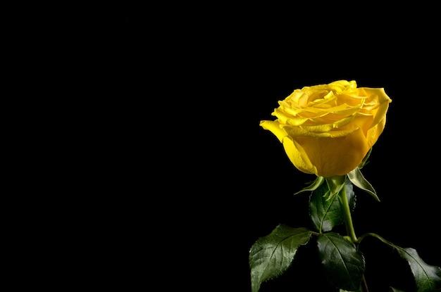 검정에 노란 장미.