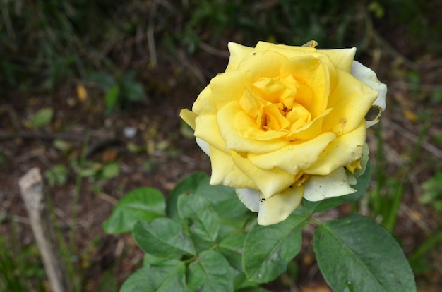 Yellow rose in sunny day