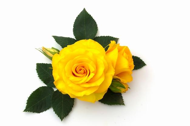 Желтая роза с бутонами на белом фоне с зелеными листьями