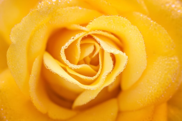 Yellow rose with drops of dew closeup, background