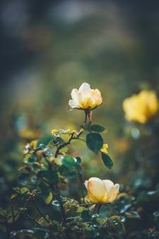 Желтые розы в цвету