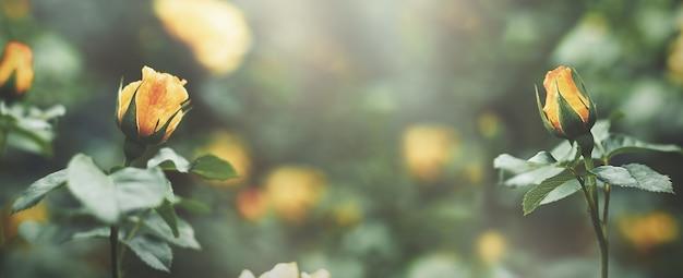 Желтые розы на размытом фоне. длинный баннер