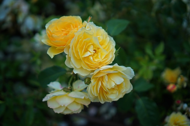 Yellow roses in a public garden ,close-up