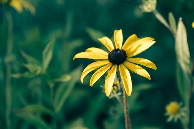 Yellow rudbeckia hirta also known as black-eyed or brown-eyed susan Premium Photo