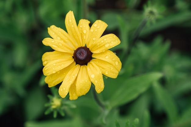 緑の背景に長い花びらと黒いハートの黄色いルドベキアヒルタ。ブラックアイドまたはブラウンアイドスーザンとしても知られています