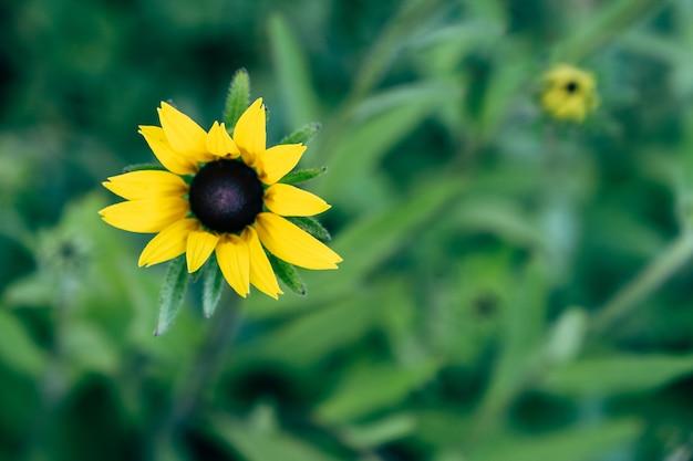 緑の背景に長い花びらと黒いハートと黄色のルドベキアヒルタ