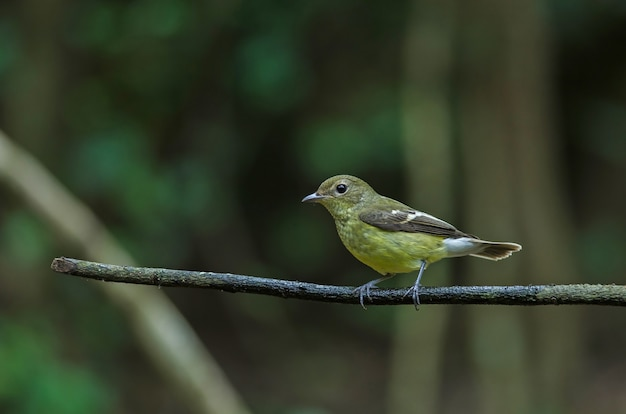 Yellow-rumped flycatcher (ficedula zanthopygia) in nature of thailand