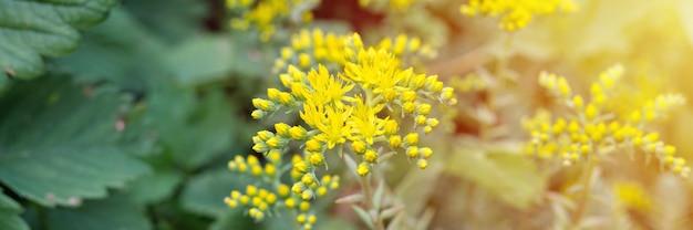 Желтый очиток рефлекс или очиток рупестр в полном расцвете на поверхности зеленых листьев