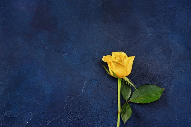 Yellow single rose on dark blue background