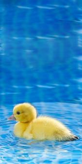 スイミングプールで黄色の小さなかわいいアヒルの子