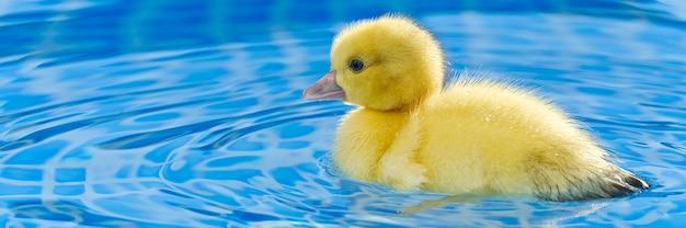 Желтый маленький милый утенок в бассейне