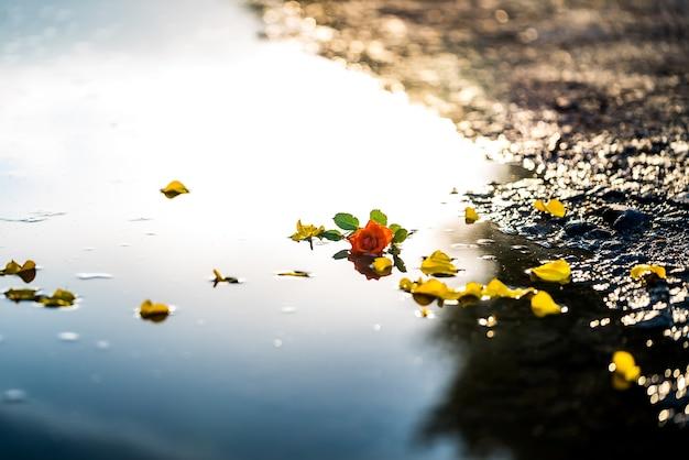 노란색 작은 꽃과 웅덩이에 하나의 빨간 장미. 꽃과 물에 선택적 초점입니다.