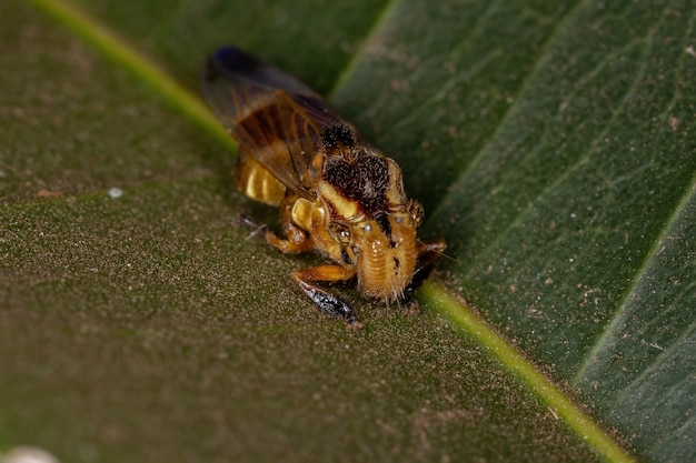 Yellow small typical leafhopper of the genus teletusa animal mimicking a bee