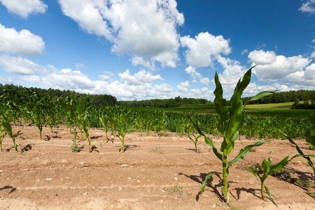 새로운 작물의 녹색 옥수수가 자라는 노란 토양, 여름 풍경