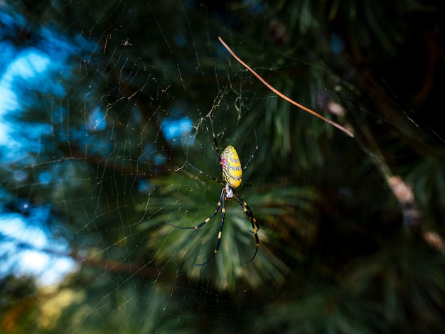 Yellow spider in web with pine