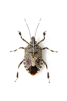 Yellow spotted stink bug isolated. animal. insect.