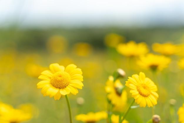 Желтые весенние цветы - выборочный фокус